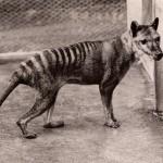 Tassie Tiger