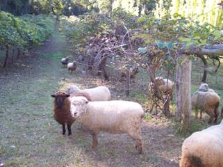 Sheep grazing under kiwifruit vines