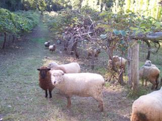 Sheep grazing under kiwifruit vines
