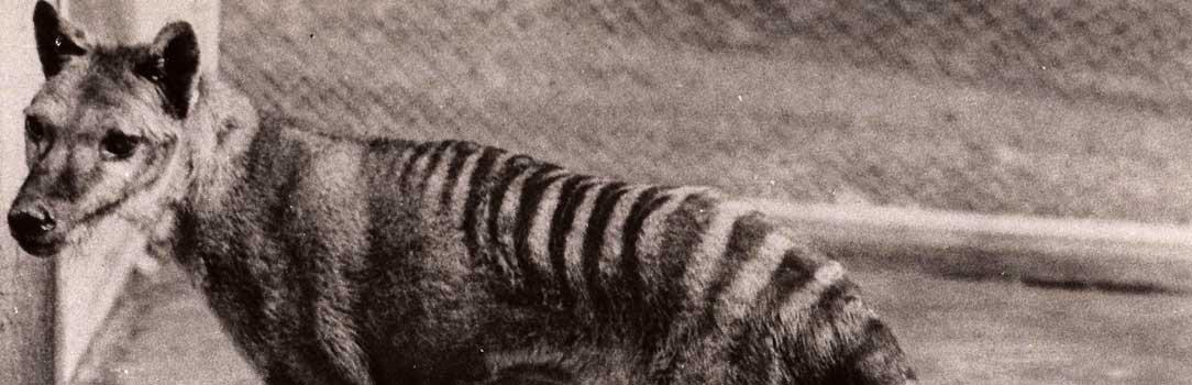 Tasmanian Tiger's ancient relative