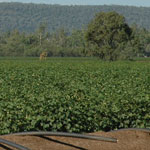 Study Cotton Production at UNE