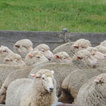 Study Sheep and Wool Science at UNE