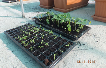 Growing seedlings in Oman as part of the Sustainability Education project