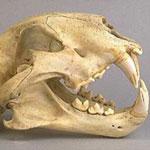 Skull of Tasmanian tiger