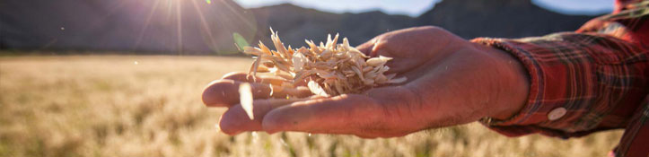 Farmer inspecting grains crop