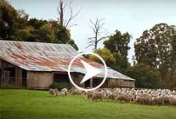 Sheep in a paddock with a shed.
