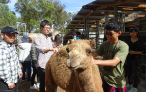 Students handling a camel