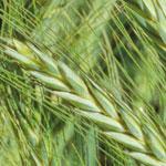 Study Grains Production at UNE