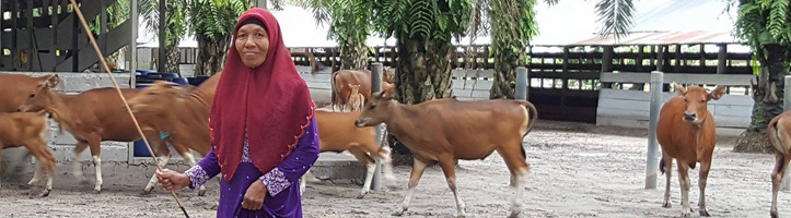 Woman herding cattle in Indonesia