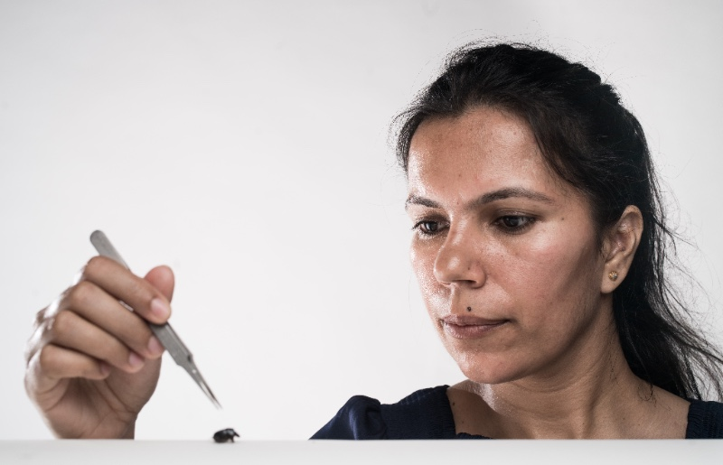 Woman with lab tweezers poised to pick up a beetle