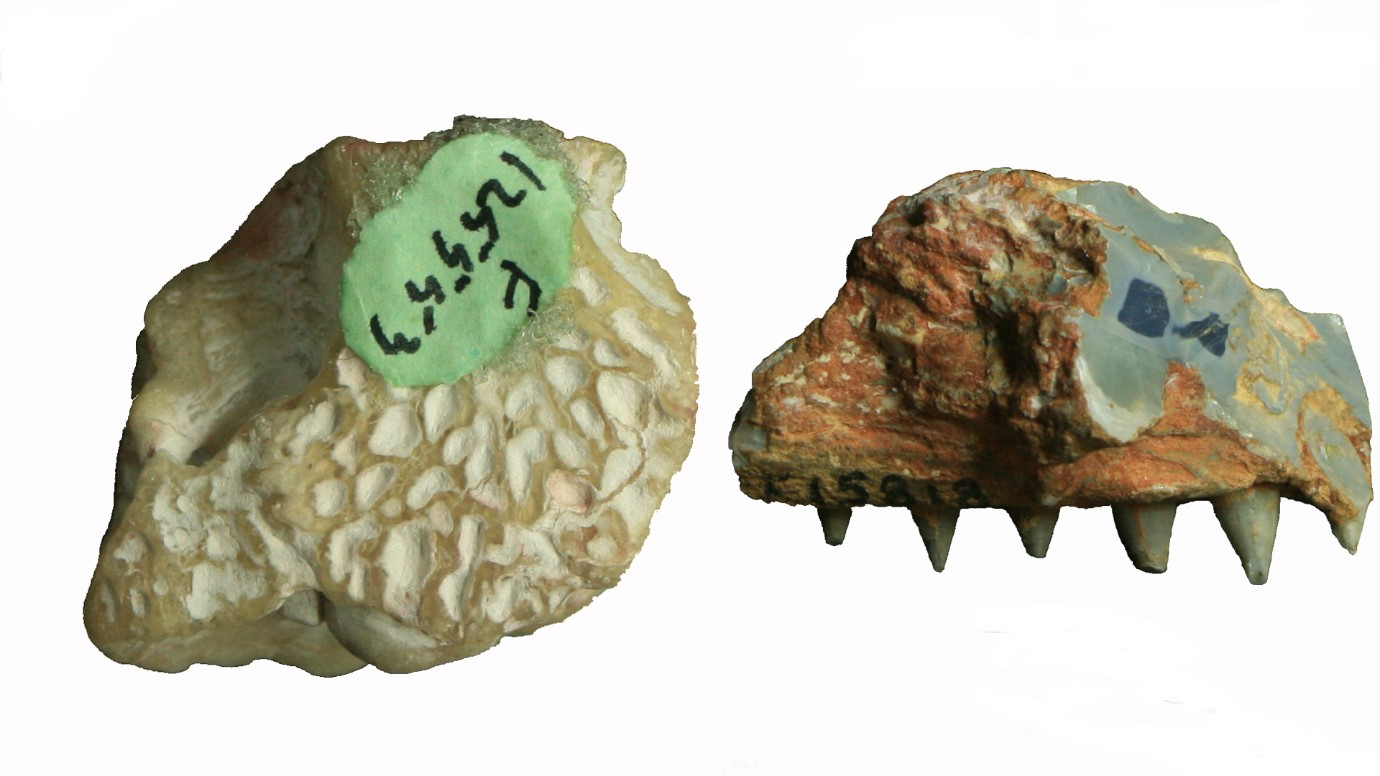 Photos of the partial braincase (top view) and jawbone of Isisfordia molnari