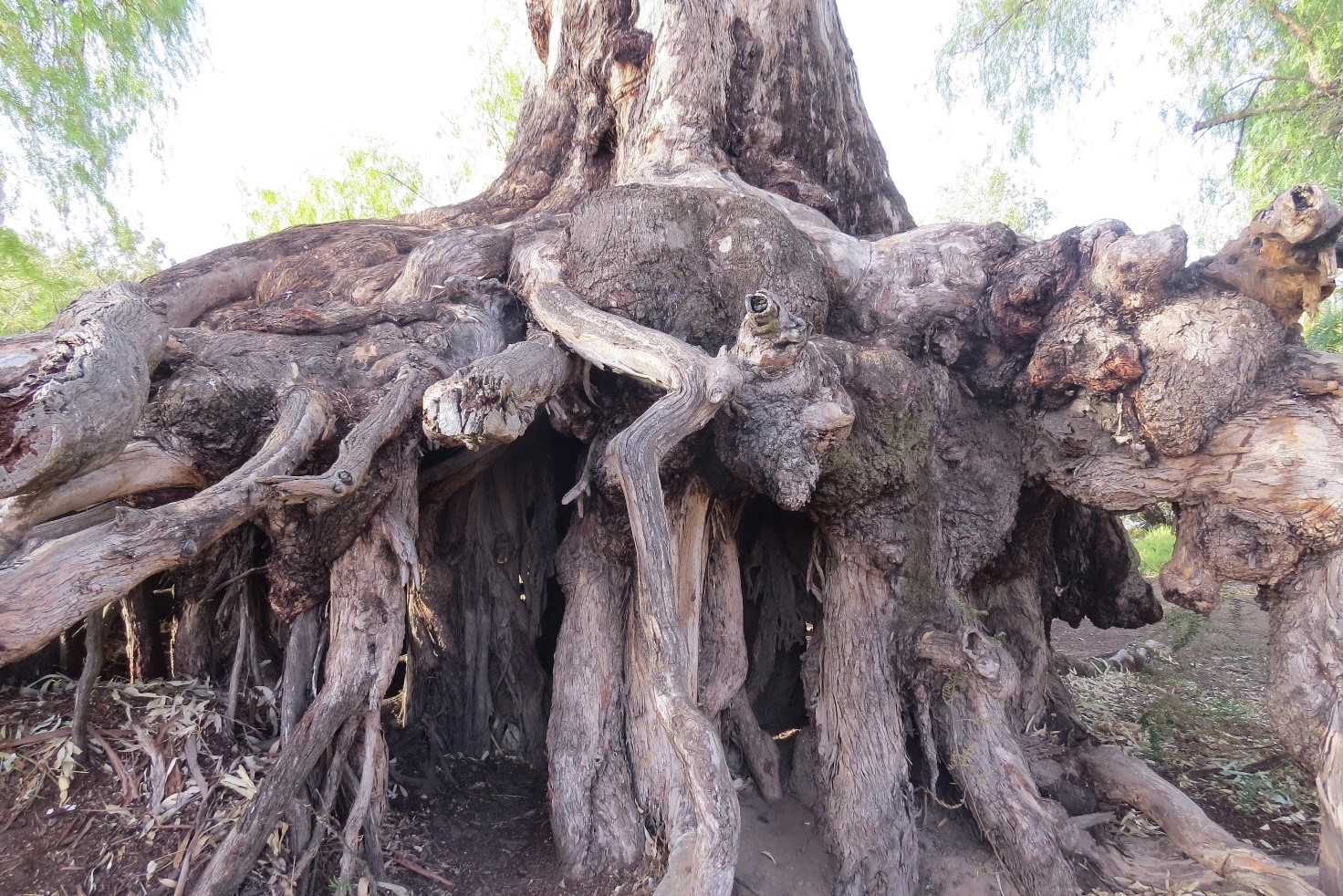 Tangled roots of a river red gum in Bingara, NSW