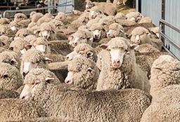 Sheep in a run