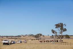 Australian rural farm landscape with cattle in paddock and cars parked near the fence.