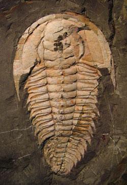 Redichia takooensis (trilobite)