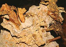 Fossil of a fox-sized marsupial predator, ancestor of the tasmanian tiger