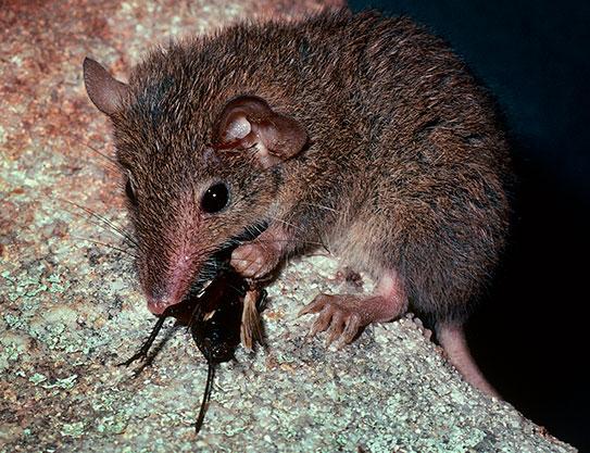 Marsupials' secret to bushfire survival