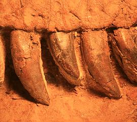 Close up of fossilised teeth
