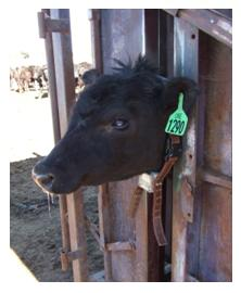Cattle with Collar