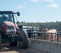 Tractor distributing feed to cattle at a feedlot