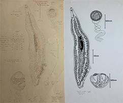Monogenea Parasite