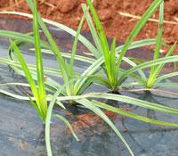 Nutgrass growing through plastic mulch