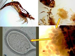 shrimp cestode larvae