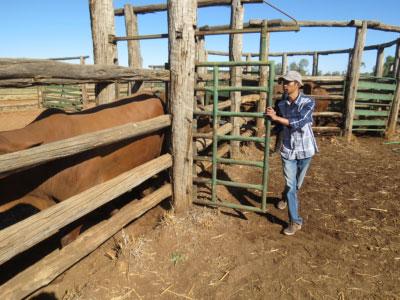 Trainee handling cattle in cattle yards