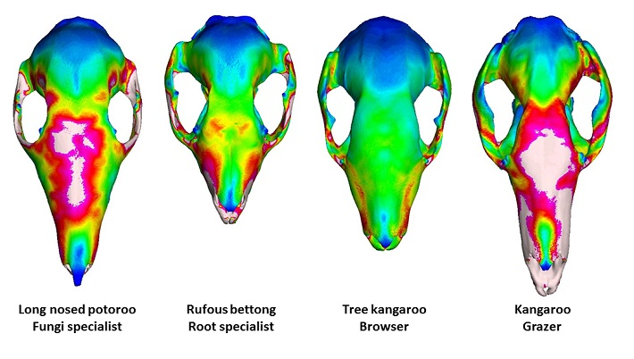 3D Models of four skulls described as Long nosed potoroo Fungi specialist (long), Rufous bettong Root specialist (shortest), Tree kangaroo Browser (mid-length), and Kangaroo Grazer (longest)