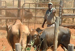 Cattle farmer working with cattle in South Africa