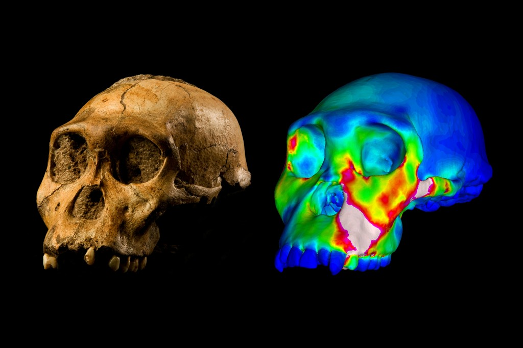 "The fossilized skull of Australopithecus sediba specimen MH1 and a finite element model of its cranium depicting strains experienced during a simulated bite on its premolars. ""Warm"" colors indicate regions of high strain, ""cool"" colors indicate regions of low strain. Image of MH1 by Brett Eloff provided courtesy of Lee Berger and the University of the Witwatersrand."