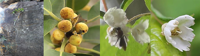 native  fig pollinators