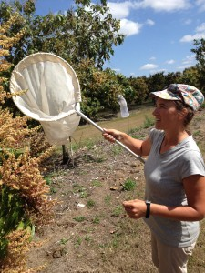 Dr Rader catching mango insects